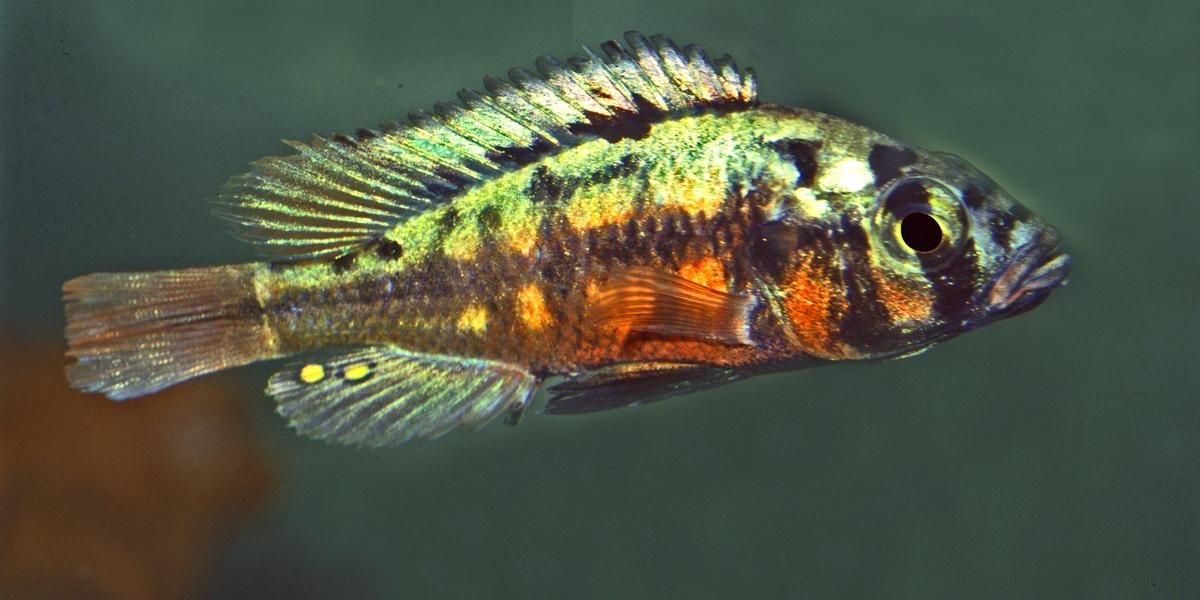 """Cichliden im Arterhaltungsprogramm der DCG - Harpagochromis sp. """"Orange Rock Hunter"""""""