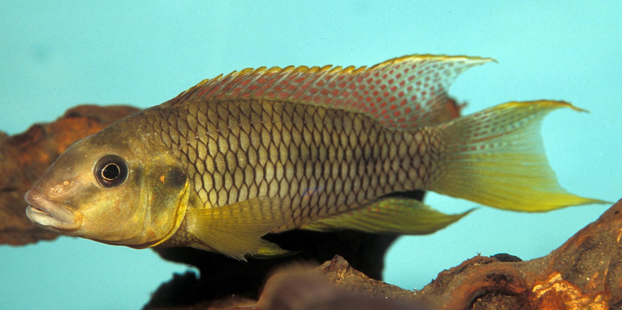 Limbochromis robertsi